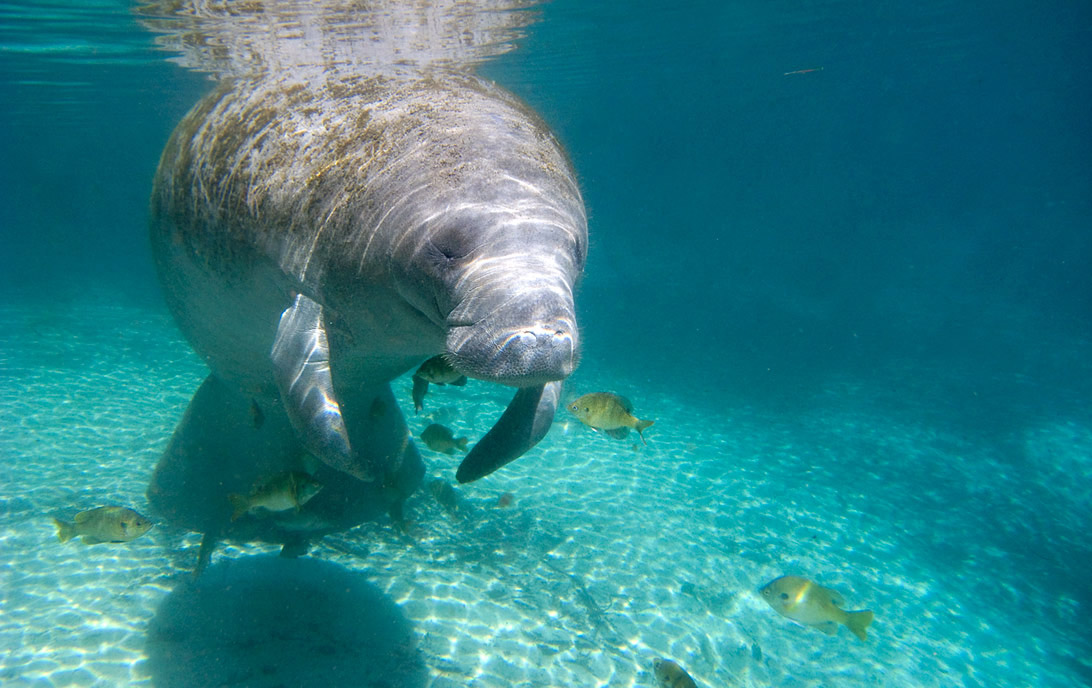 A manatee swimming in Three Sisters Spring, Crystal River, Florida