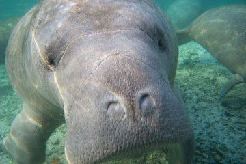 Sometimes manatees get so close, it's tough to keep them in the frame.