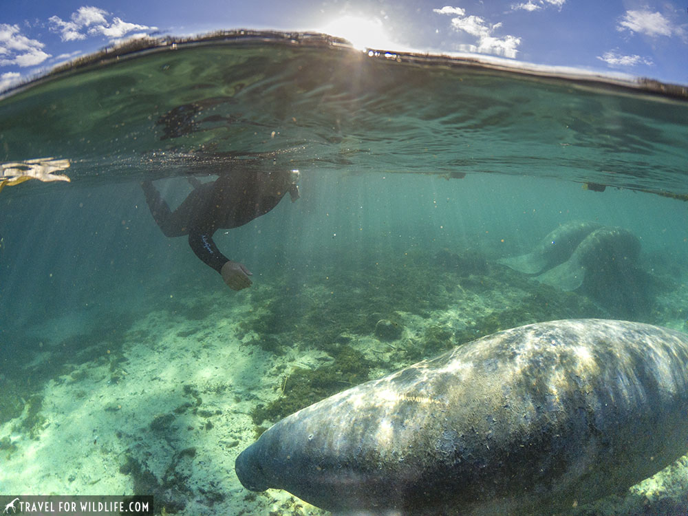Split pic of tourist swimming with manatees