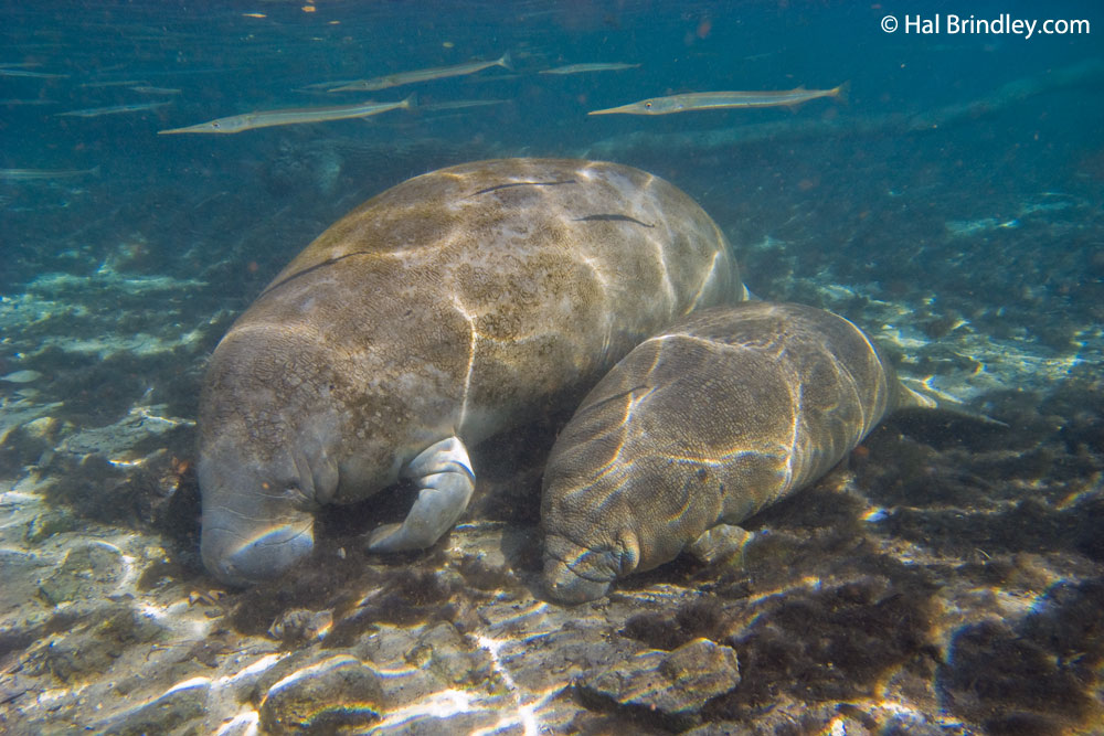 Never disturb a sleeping manatee or separate a mother from her calf