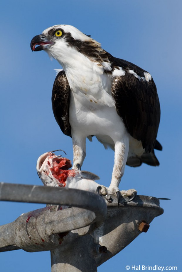 Osprey eating a fish at the Port Hotel in Crystal River