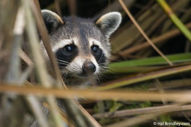 Raccoon foraging at low tide on Banana Island
