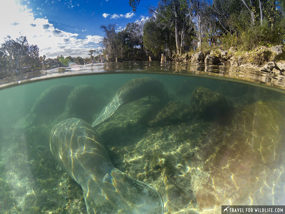 Split level of manatees resting