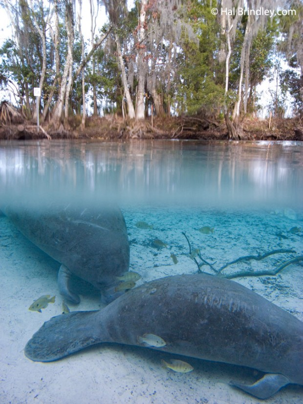 Manatees resting in Three Sisters Spring, Crystal River Florida