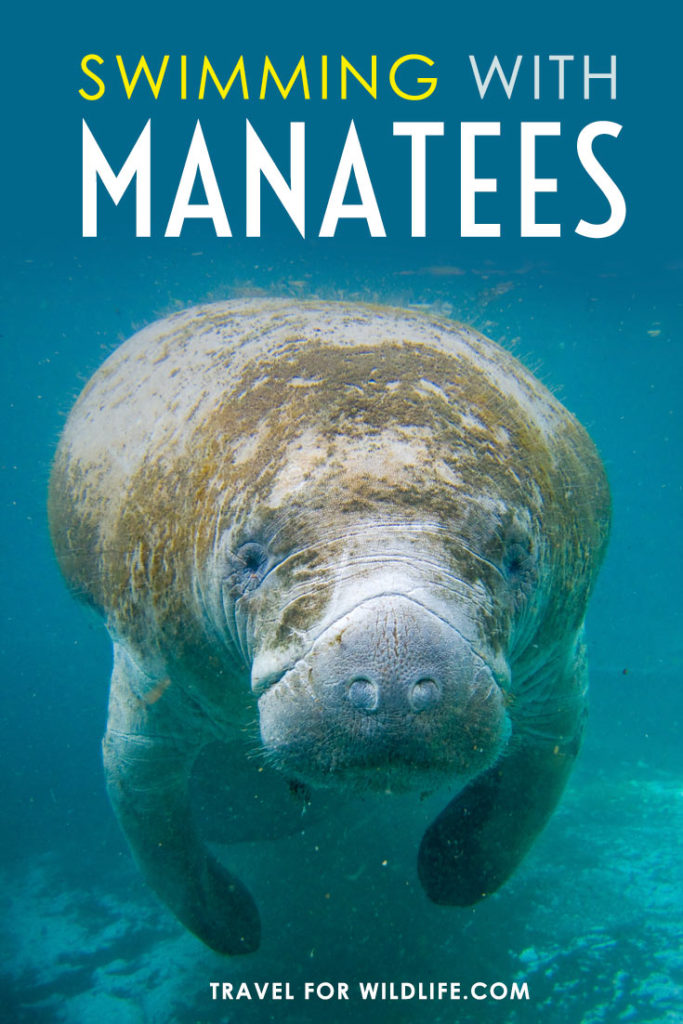 Swimming with manatees in Florida is one of the top wildlife encounters in the world when done respectfully. Here is our guide on where to go, where to stay, and how to swim with manatees#Florida