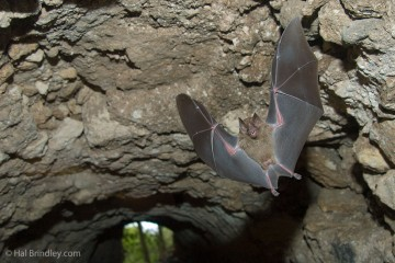 Bat flying through a tunnel in Tikal, Guatemala