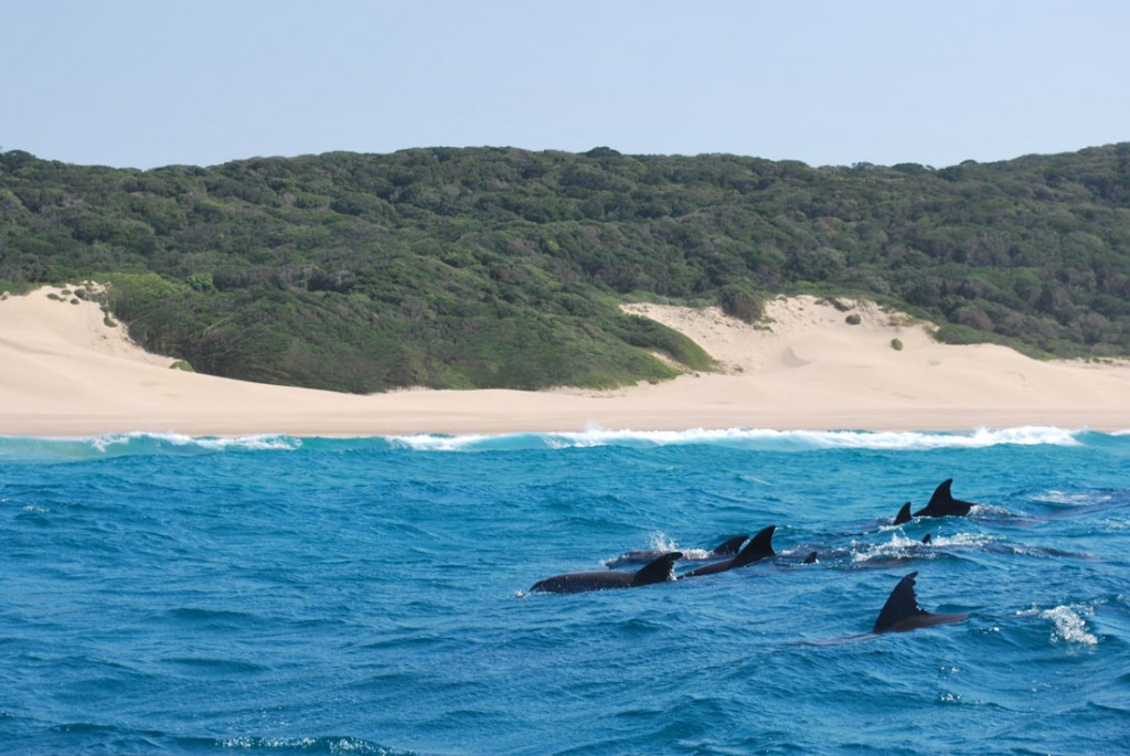 Dolphins cruising in Mozambique