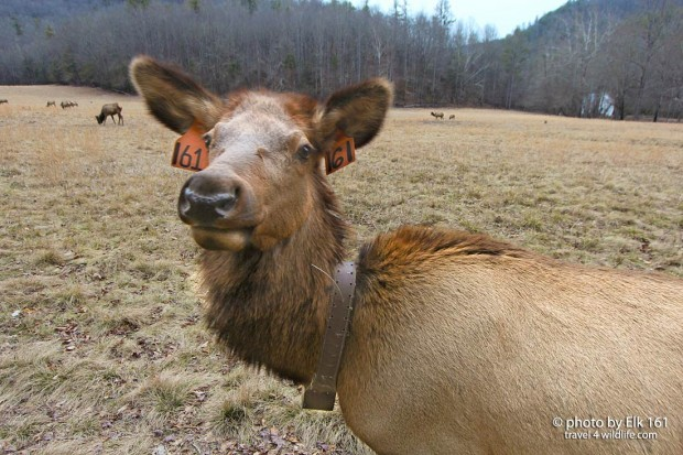 Elk self portrait in Great Smoky Mountains National Park