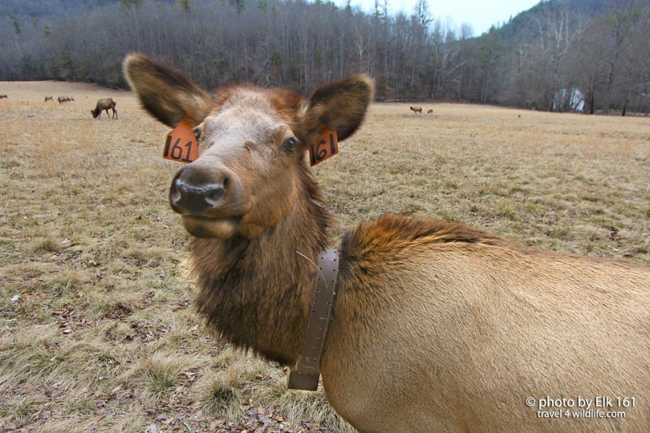 Elk in the Smoky Mountains taking a self portrait
