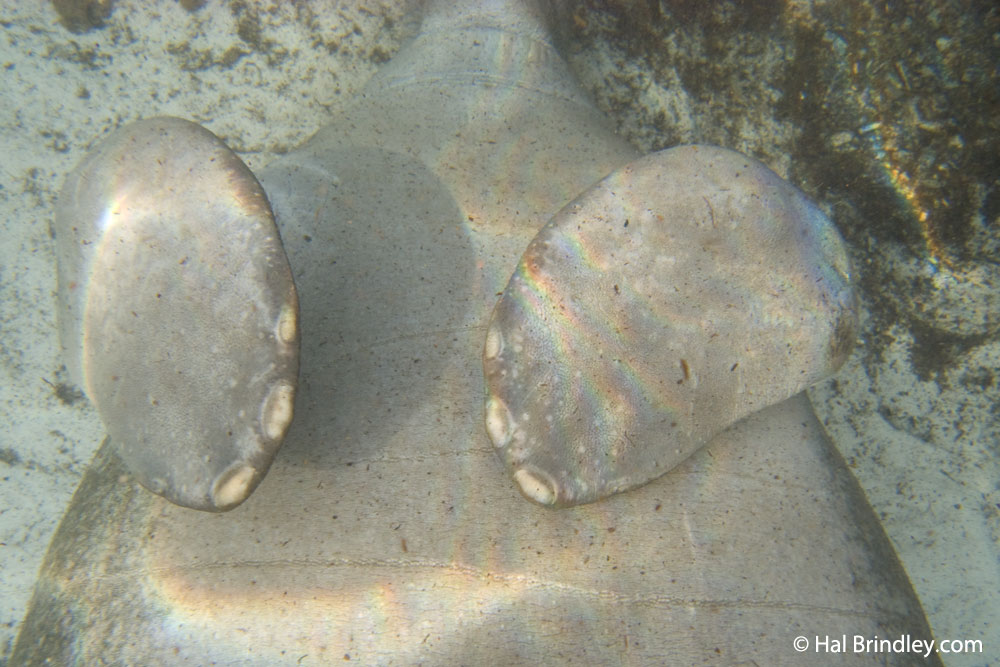 Manatee facts: fingernails