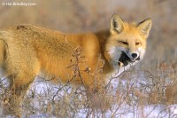 Red fox eating a small rodent