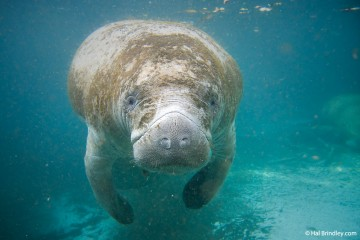 A manatee in the Three Sisters Spring in Crystal River Florida