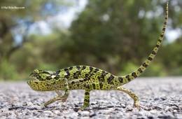 Flap-necked chameleon, Kruger