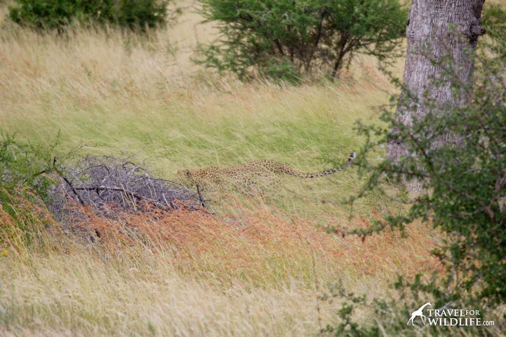A leopard walking on the grass in Kruger