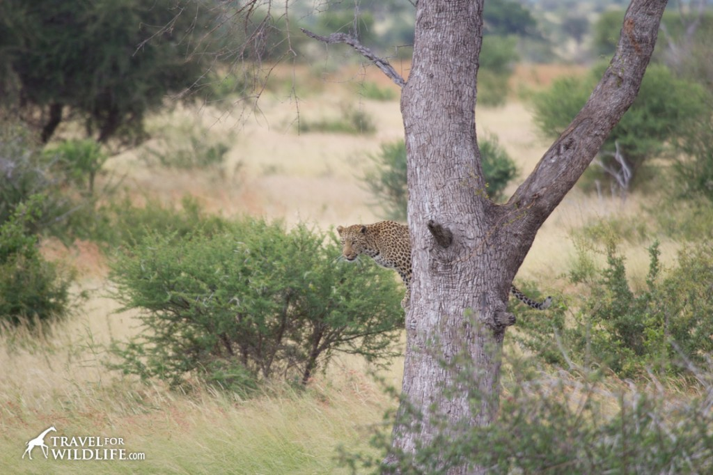 Seconds before the leopard jumped off the tree
