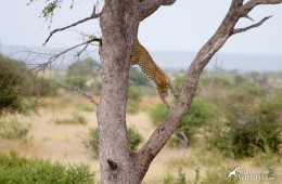 Leopards are easy to see on a Kruger safari