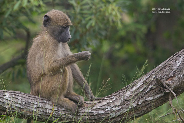 Baboon examining something
