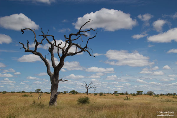 Savannah habitat in central Kruger