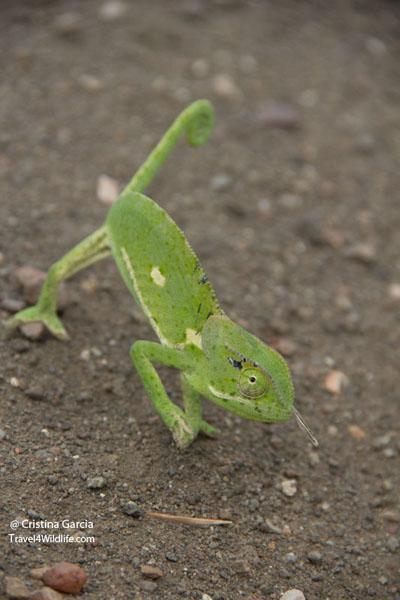 Flapped necked chameleon