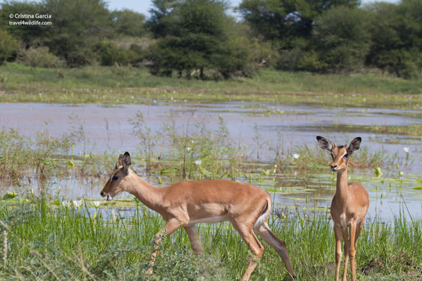 Impala on waterhole