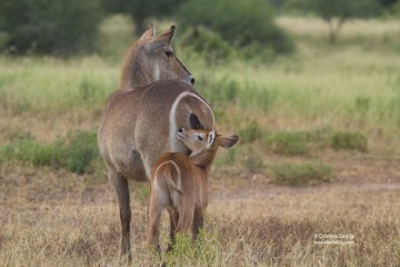 Waterbuck mother and calf
