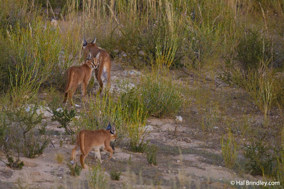 Caracal mother with two kittens in the Kgalagadi Transfrontier Park, South Africa
