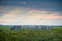 Zebras on a Stormy Afternoon, Etosha NP