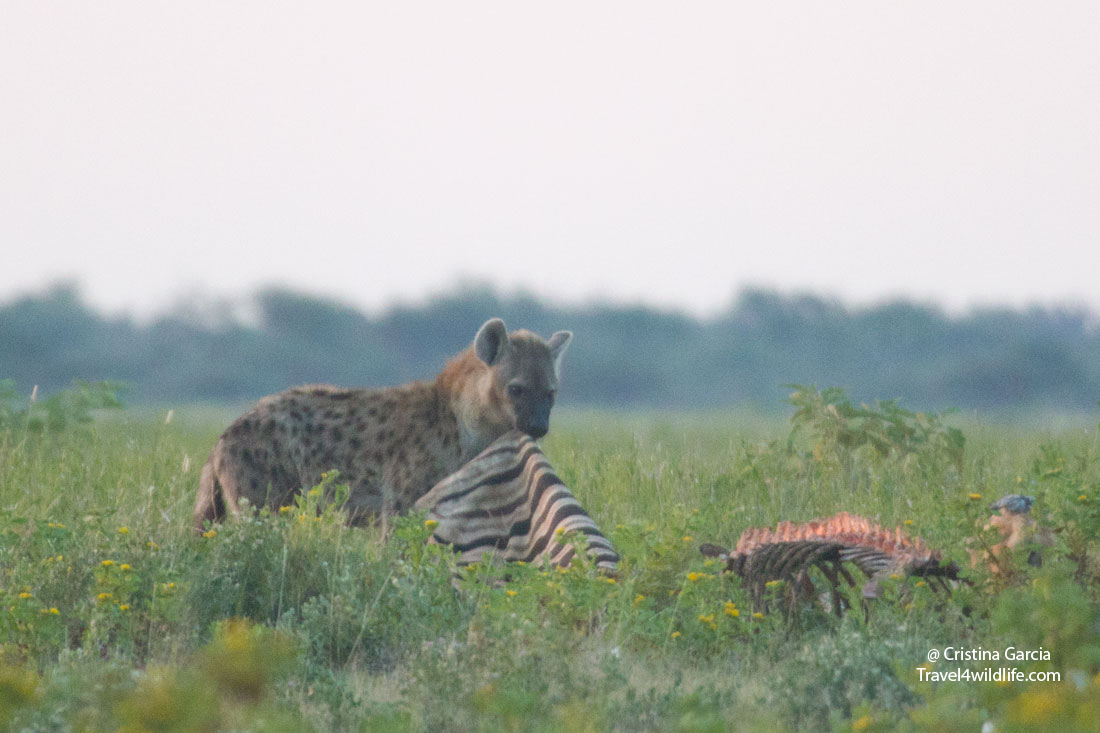 Spotted hyaena eating the skin of a zebra