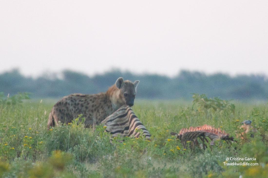 Spotted hyaena eating the skin of a zebra