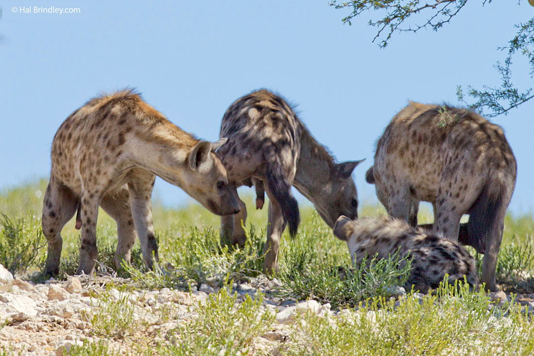 Sexually mature female hyaena (center) exhibiting opening at the end of pseudopenis.