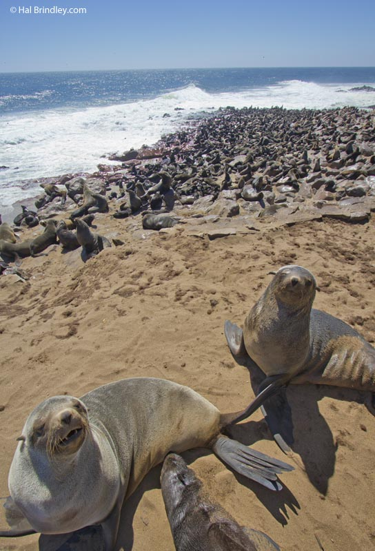 Cape Cross fur seal colony
