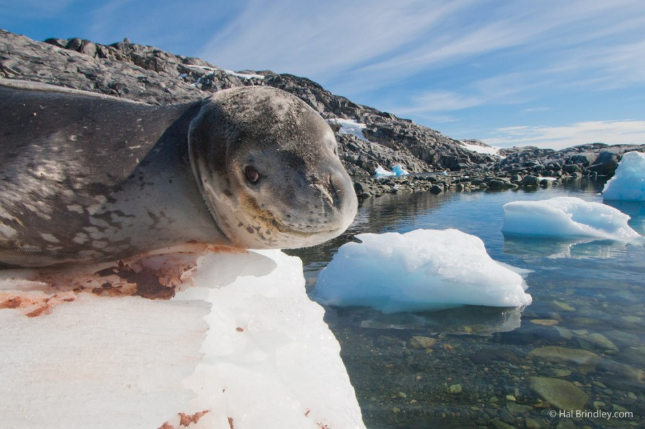 Leopard seals have a spotted coat