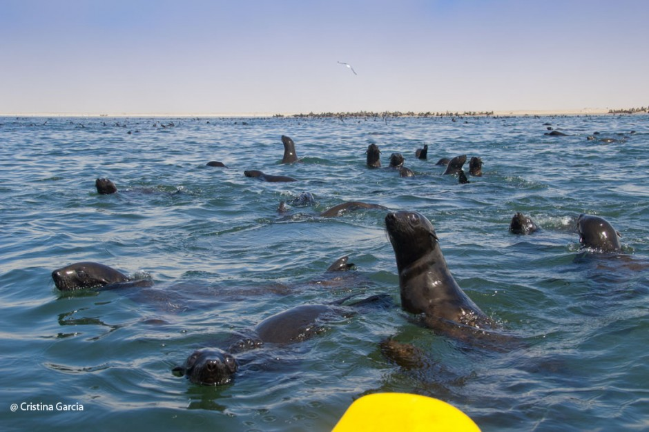 Curious seals approach the kayak