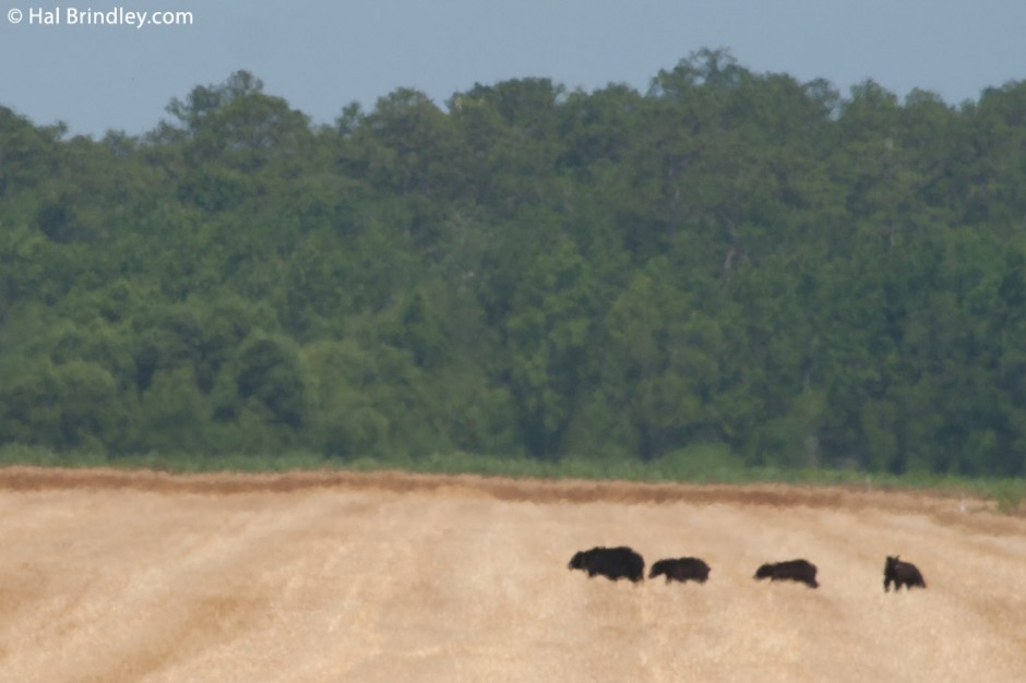 A bear and three cubs crossing a corn field in the Alligator River NWR