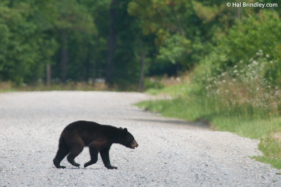 A bear crossing one of the roads at the Refuge