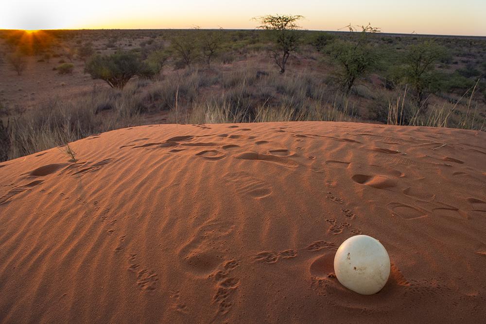 An abandoned ostrich egg