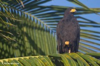 Common Black Hawk in a palm