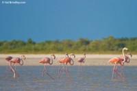 American Flamingos in the mud flats