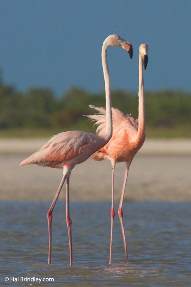 American Flamingos at the river in Holbox
