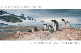 Gentoo Penguin Colony, Cuverville Island, Antarctica