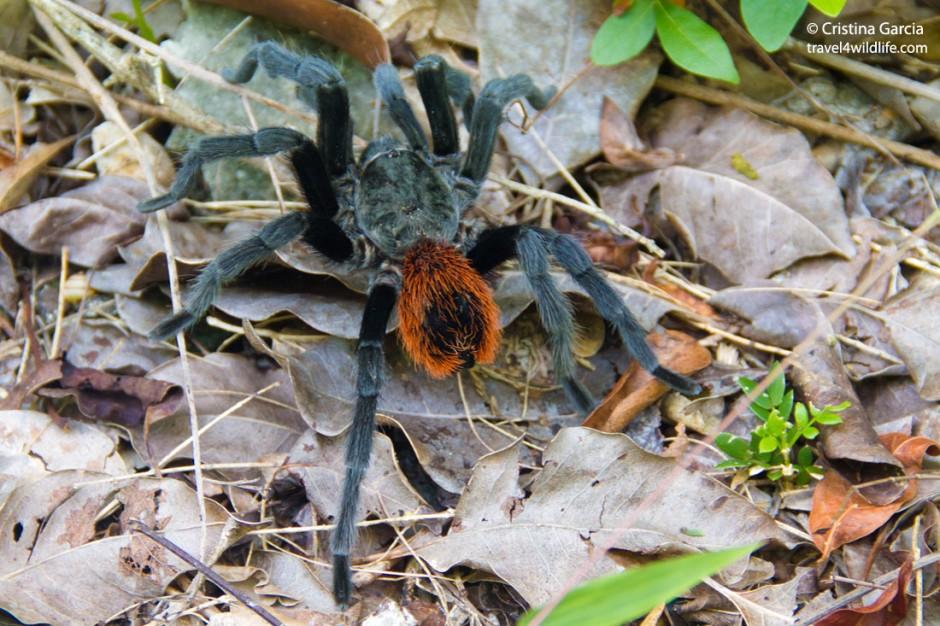 A Mexican redrump tarantula ( Brachypelma vagans)