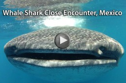 Click to play video: Whale Shark Close Encounter in Holbox, Mexico