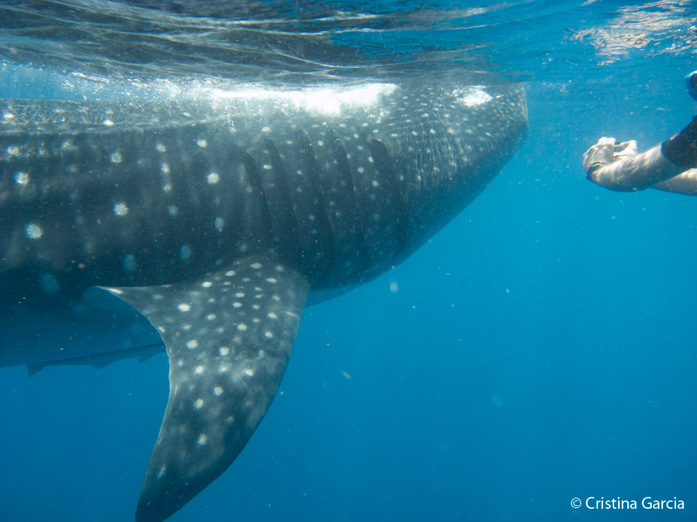 whale shark facts: The pattern behind the gills is like a human fingerprint.