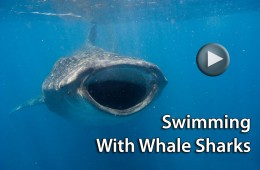 Video Review: Swimming With Whale Sharks in Holbox, Mexico