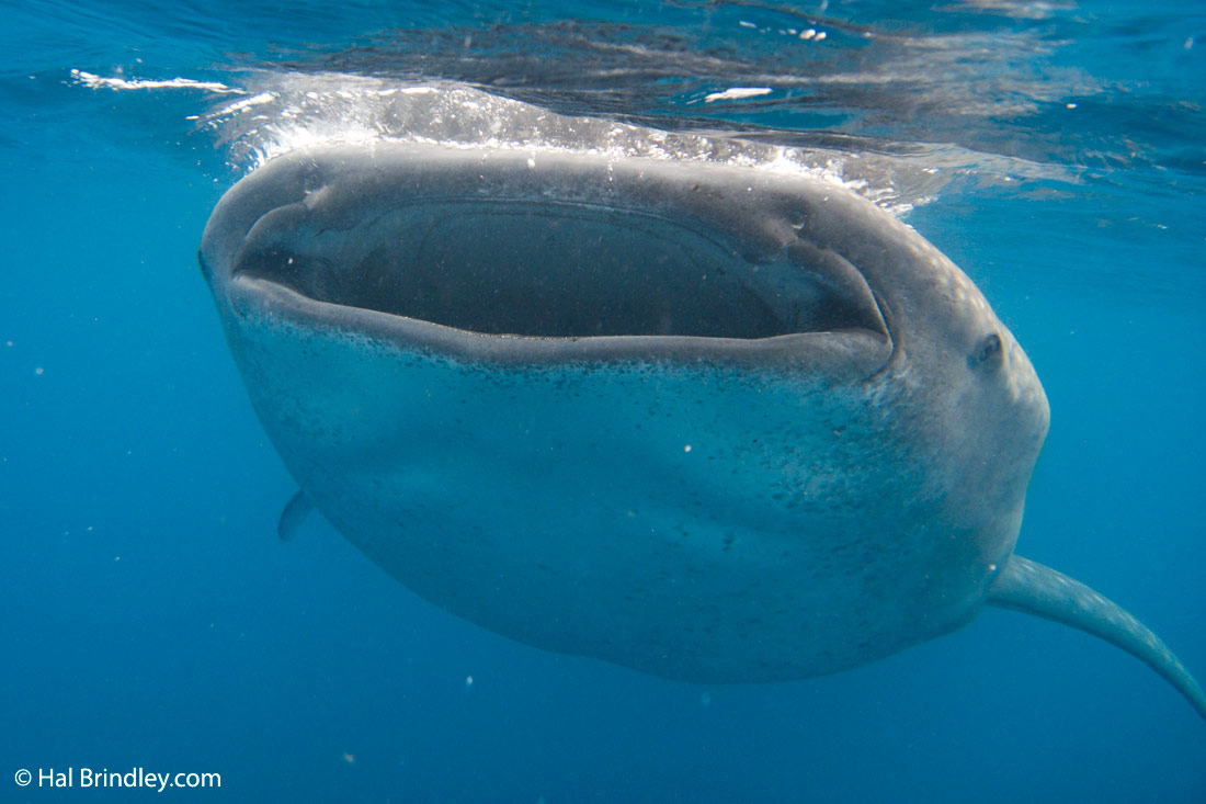 whale shark facts: a whale shark has 3000 tiny teeth!