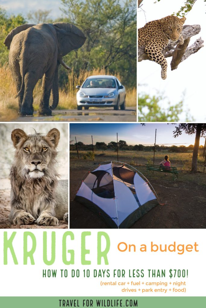 An African safari can be very expensive, but it doesn't have to be. You can do your own Safari in Kruger for less than $700 for 10 nights! Here is our complete budget for your African adventure! #Africa #safari #SouthAfrica #Adventure