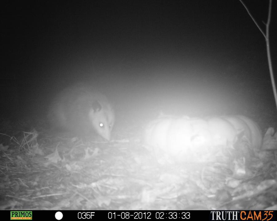 Opossum looking creepy on a foggy night