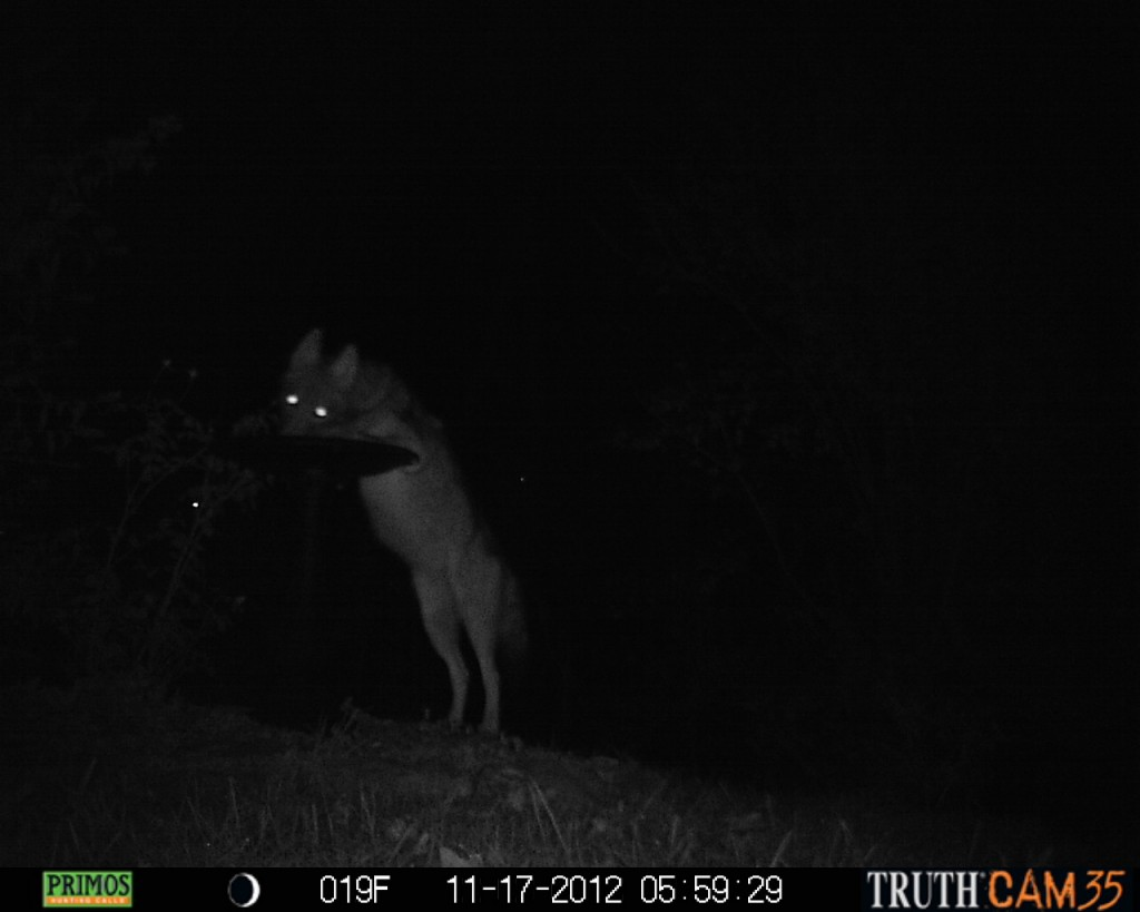 Coyote drinking from our birdbath