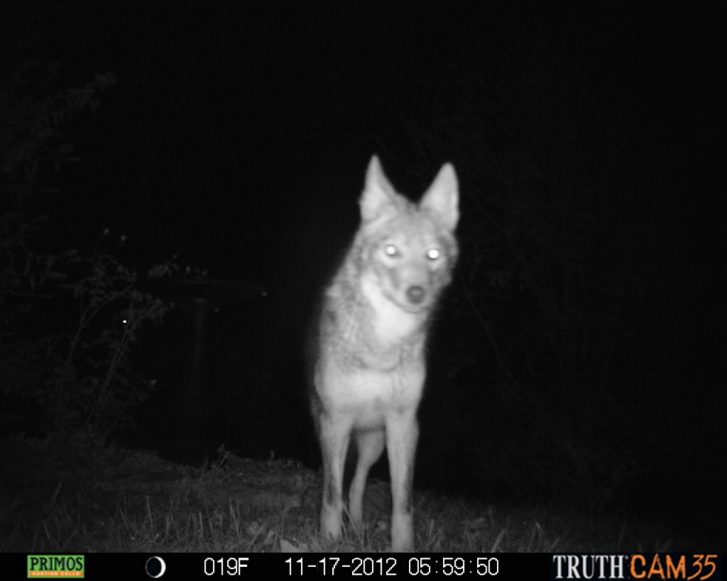 Portrait of our neighbor the coyote