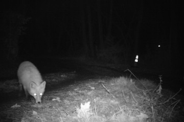 Red fox checking out the camera